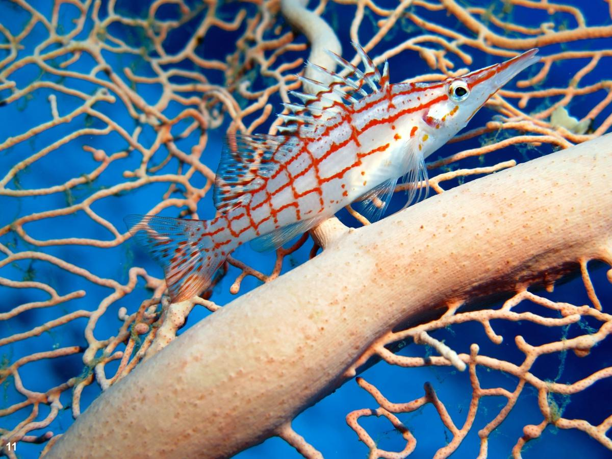 2017 - Nr. 2 Spitssnuit koraalklimmer